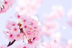 桜の季節が近づいてまいりました。